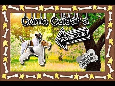 Fox Terrier |El perro ratonero| (Animales domésticos) |Cuidados de mascotas|