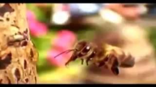 пьяная пчела! Смотрите за жизнью пчёл и многое вы для себя  уясните!!!