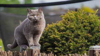 The most famous British cat breed No#1   British Shorthair Lilac girl   Cutest Animals Compilation