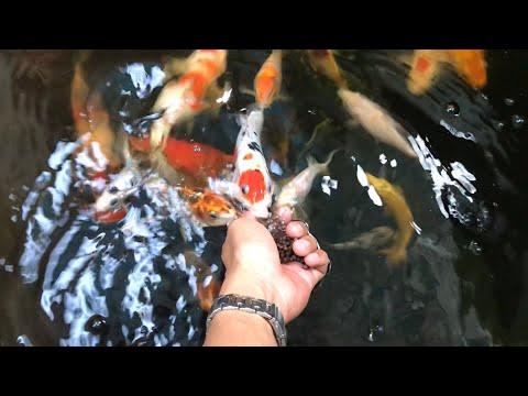 Nuôi chung các loại cá cảnh với nhau có được hay không?