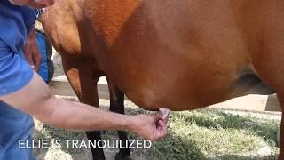 Horse Hematoma