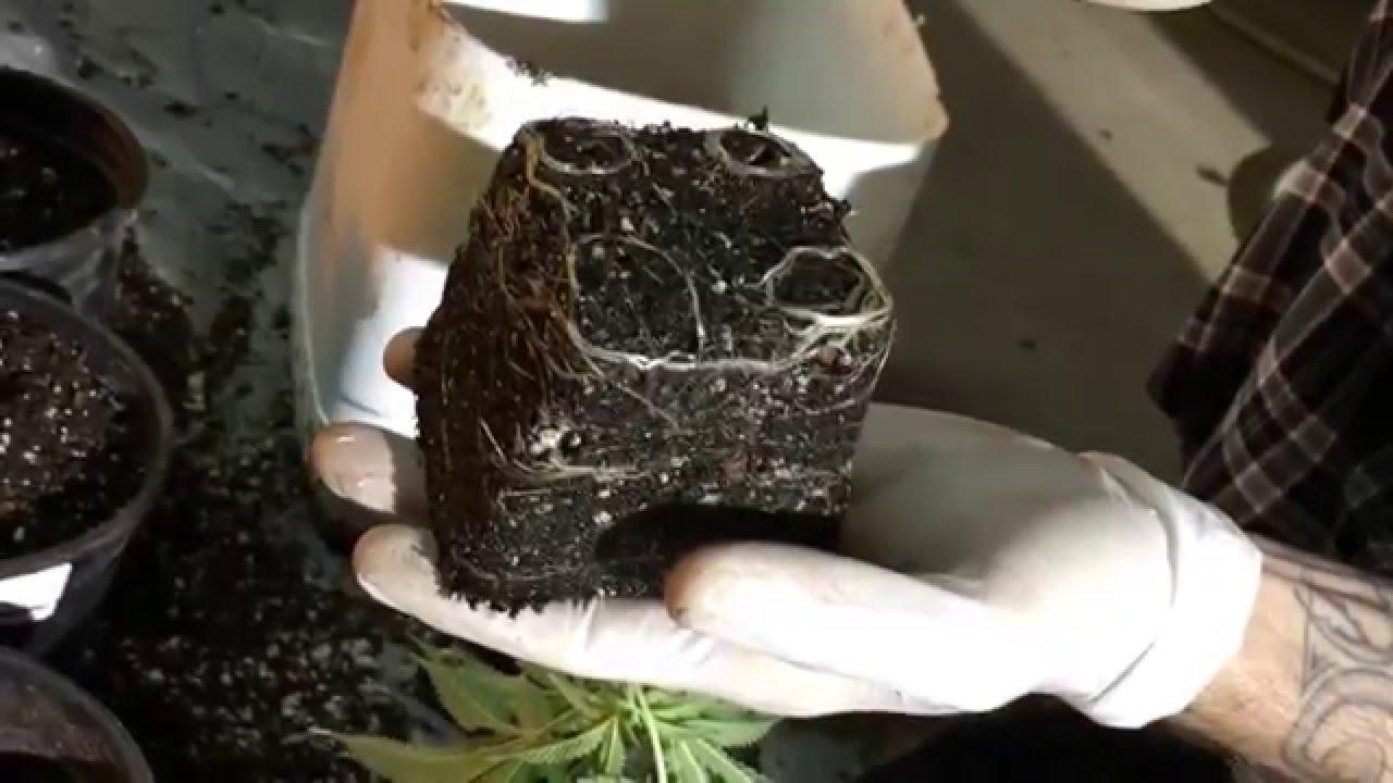 transplanting cannabis plants ( zero transplant shock )