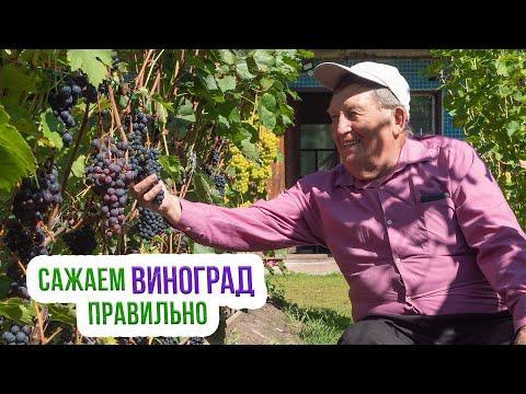 Выращивание винограда в Сибири. Посадка
