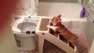 Welsh Corgi Puppy Pees On Toilet Successful Potty Training