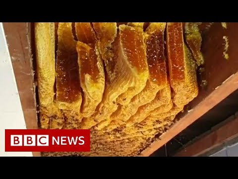 Huge beehive discovered inside ceiling - BBC News