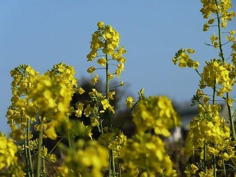 Mustard Farming (सरसों की खेती) 2 In Baatein Kheti Ki - On Green TV