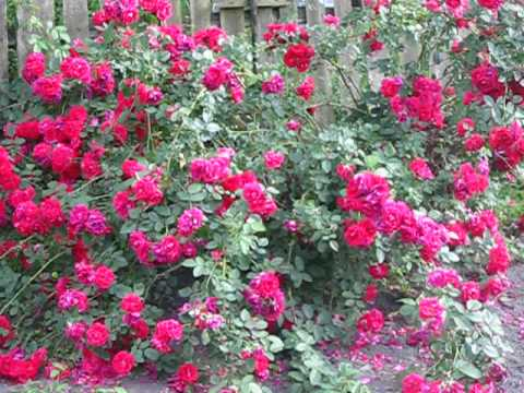 Роза фламентанц размножение