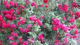 видео Роза аква - фото и описание сорта, отзывы садоводов