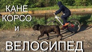 Кане Корсо и велосипед, велоспорт с собакой породы #КанеКорсо(В этом видео рассказываю о занятии велоспортом совмещенным с бегом собаки породы Кане –Корсо. С помощью..., 2016-05-27T03:30:01.000Z)