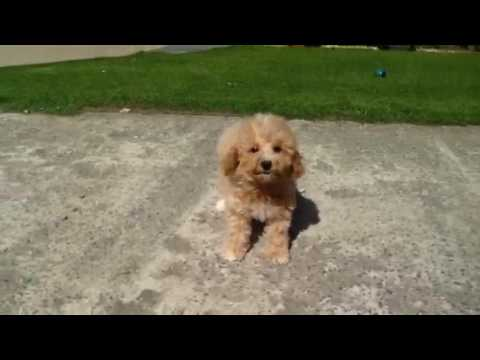 Sienna Toy Poodle X Bichon Frise Puppy Youtube