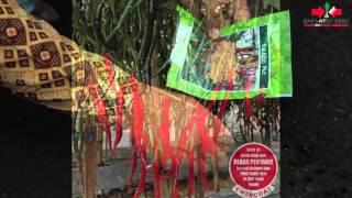 Agro TV- Panen Cabai Keriting Berlimpah Cap Panah Merah 18 Ton Per Hektar