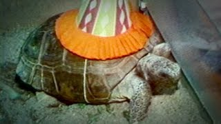 Video 1980s story on Gus the Turtle will have you in stitches download MP3, 3GP, MP4, WEBM, AVI, FLV Maret 2018