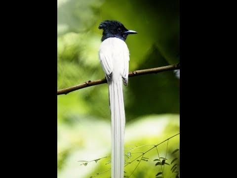 BURUNG TALI POCONG SUMATRA/Asian Paradise Flycatcher