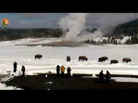 Bison Stand Still Long Time! Feb.28,18 Live Cam @Yellowstone