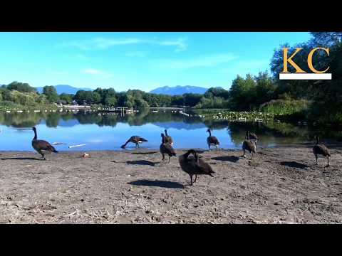 【Vancouver Park】Trout Lake Park Canada Geese 2018-07-17