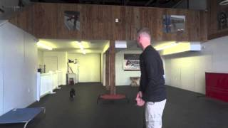 Small Dog Cory Video! Small Dog Training Northern Virginia