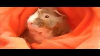 Cosmic Guinea Pig Promo