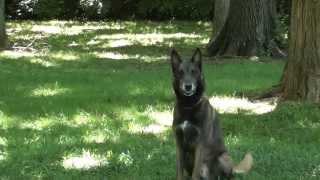 Guy Nashville Dog Trainer 101: Training A Belgian Malinois