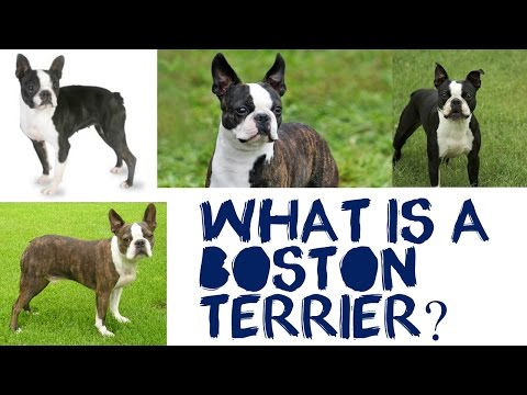 What Is A Boston Terrier?
