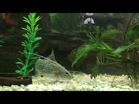 "Pictus Catfish In My 135 Gallon ""Shark"" Tank"