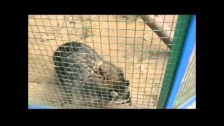 Енот полоскун-хищное млекопитающее