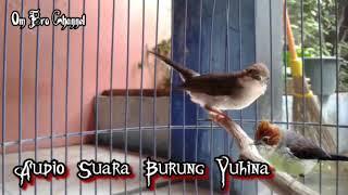 Audio Suara Burung Yuhina Untuk Masteran