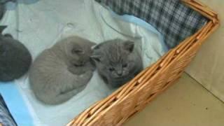 Мои британские котята. П-к Silvery Snow