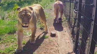 Releasing The Lions #AskMeg | The Lion Whisperer