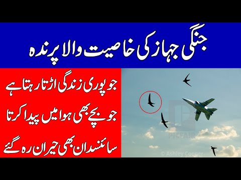 Amazing Facts About Swift Birds With All Specifications Of Fighter Jet | Info Plus