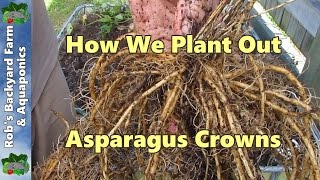 How We Plant Out Asparagus Crowns