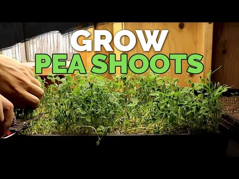 How to Grow Delicious Pea Shoots and Sprouts From Start to Finish 🌱