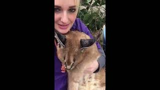African Caracal is so sweet