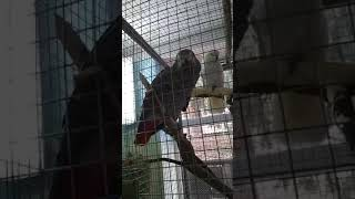 Умний папугай жако