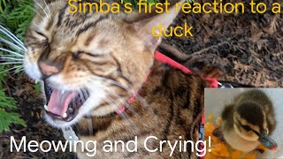 Bengal Cat Meowing,Crying And His First Reaction To A Duck!