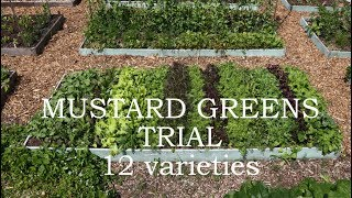 Mustard greens trial - 12 different varieties