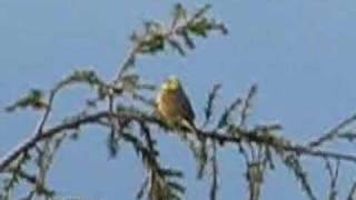 Yellowhammer song