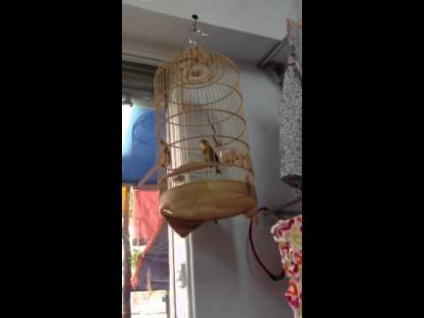 Chim quế lâm hót hay