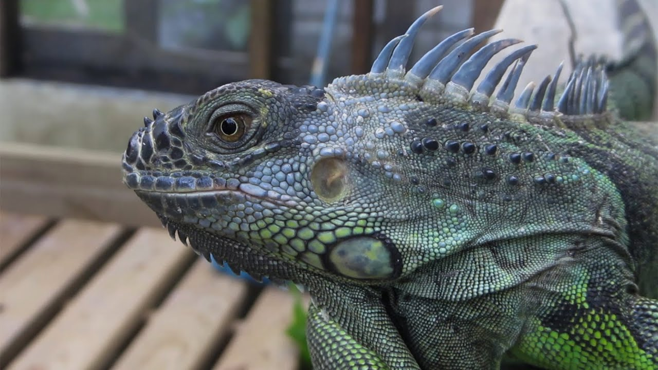Up Close with a Green Iguana - Belize | Travel for Kids ...