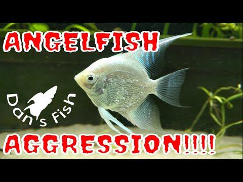 Angelfish Aggression