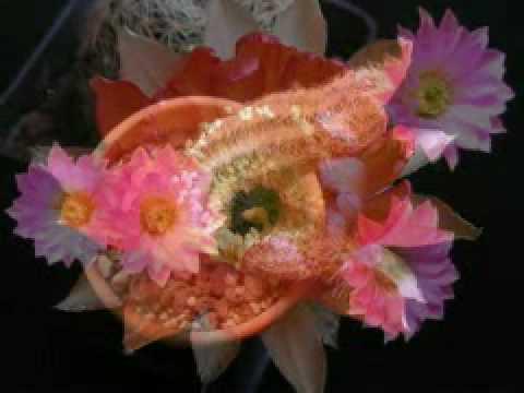 fioriture cactus 2008