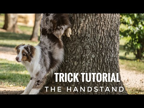 Dog Trick Tutorial: The Handstand