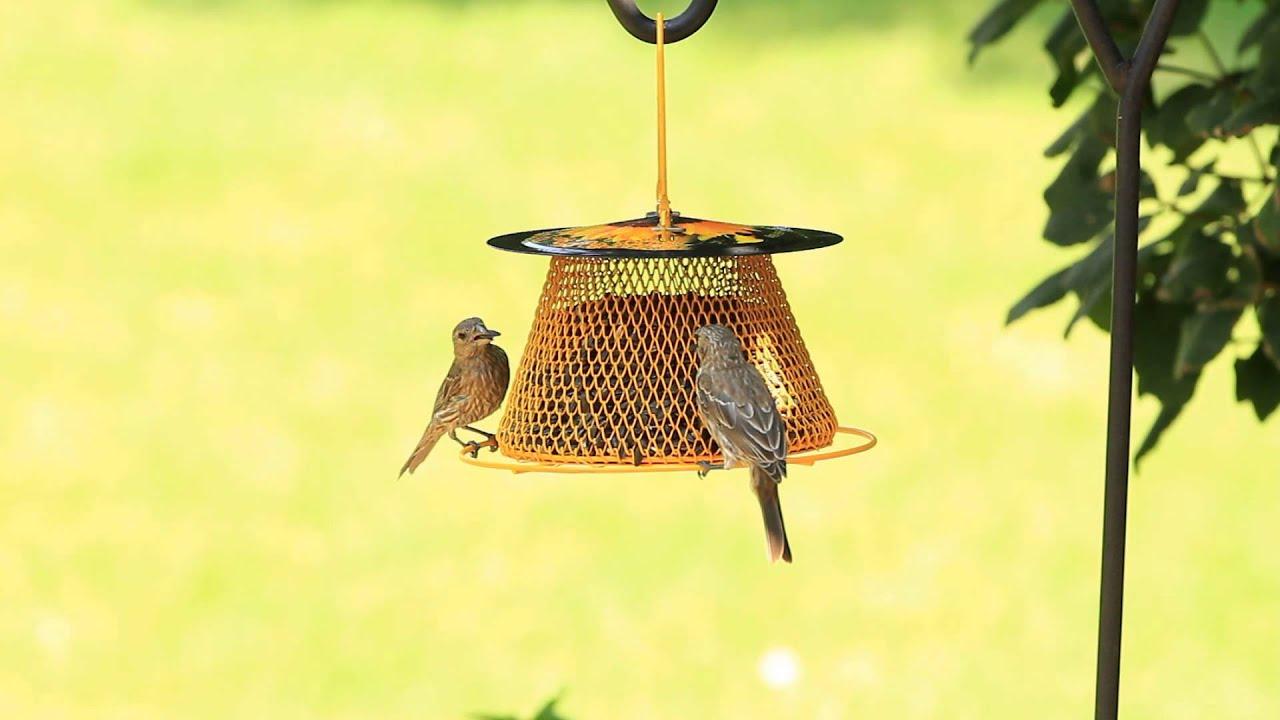 welcome learn more feeder to on amazon beaks yellow bird