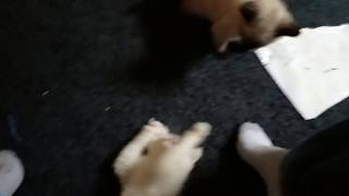 Koffee siamese cat 1-0 meeting and playing with his bigger brother 0-1 video 1