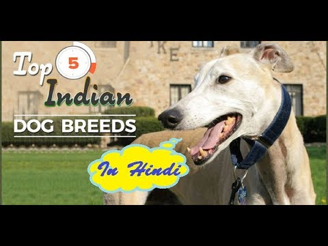 Top 5 Indian Dog Breeds In Hindi | Dog Facts in Hindi| Animal Channel Hindi