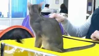 Абиссинская Порода кошек, королевская красавица