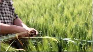 10 06 100ц биоврожай с БАТ