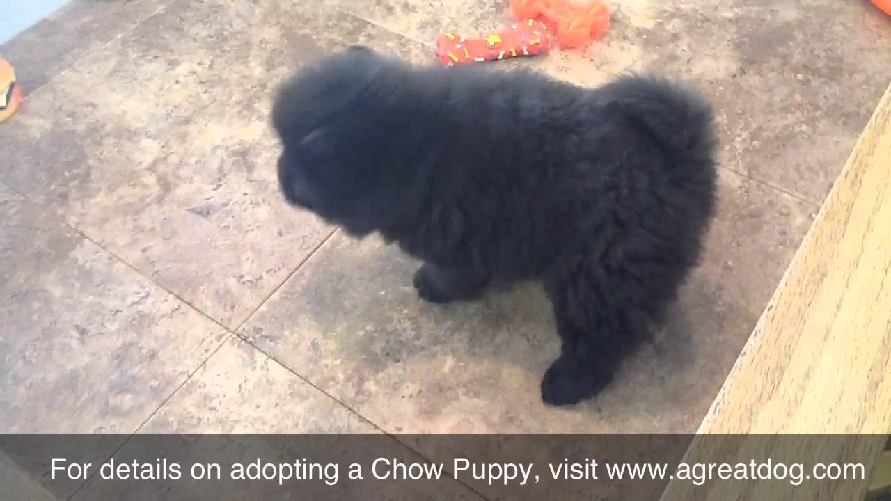 Black Female Chow Puppy Youtube