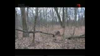 Особенности охоты на Руси Охота на кабана
