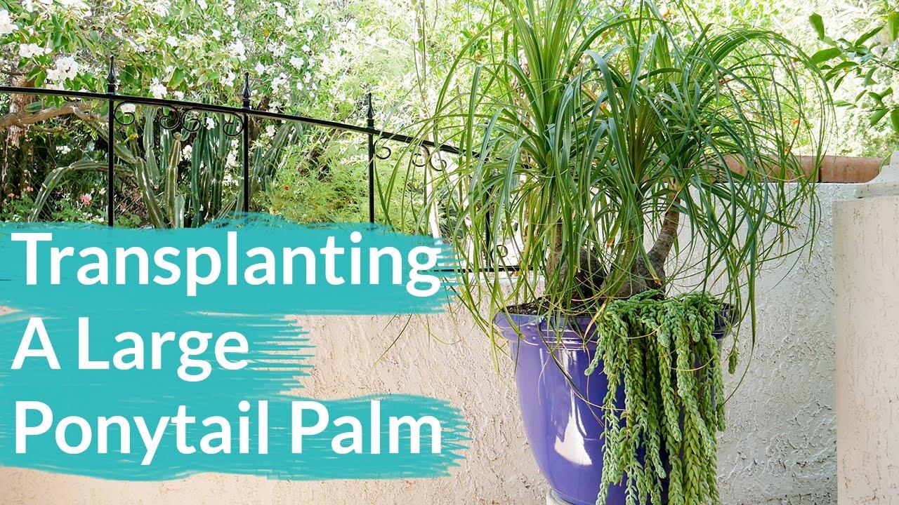 Repotting My Ponytail Palm Bonsai The Bonsai Zone June 2018 By Nigel Saunders The Bonsai Zone