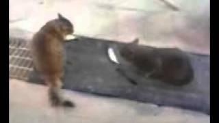 猫のケンカ。漁師がくれた鯵の所有権をめぐり、もめている。両者とも微...